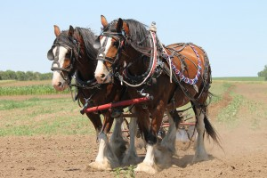 clydesdale-1106337_1280